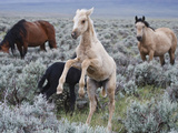Wild Horse Babies Playing  Wyoming  Usa