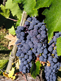 Chianti Grapes Ready for Crush  Greve  Tuscany  Italy