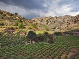 Vineyard  Crete  Greece