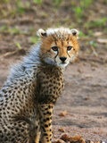 Cheetah Cub  Masai Mara  Kenya