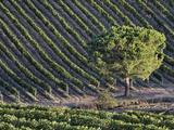 Morning Light on Vineyard  Tuscany  Italy