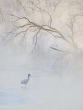 Hooded Crane Walks Through a Cold River under Hoarfrost-Covered Trees  Tsurui  Hokkaido  Japan