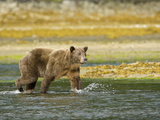 Brown Bear  Katmai National Park  Hallo Bay  Alaska  Usa