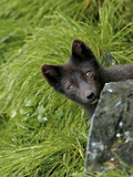 Blue Phase Arctic Fox  St Paul  Pribilof Islands  Alaska  Usa