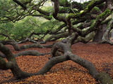Historic Angel Oak Tree  Charleston  South Carolina  Usa