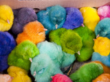 Little Colorful Chicks to Sell as Pets for Easter  Fes  Morocco