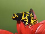 Bumblebee Poison Frog  Aka Yellow-Banded Poison Dart Frog