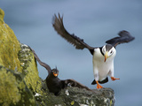 Horned Puffin Lands on a Ledge Displacing a Crested Auklet  St Paul  Pribilof Islands  Alaska  Usa