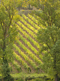 Vineyard Framed by Trees  Tuscany  Italy