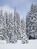 Snow-Covered Fir Trees  Mount Rainier National Park  Washington  Usa
