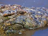 Crocodile  Masai Mara  Kenya