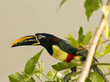 Chestnut-Eared Aracari Plucking and Eating Morning Glory Flower  Matto Grosso  Pantanal  Brazil