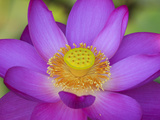 Lotus Bloom in the Summer  North Carolina  Usa