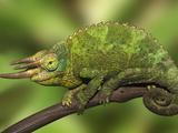 Close-Up of Jackson's Chameleon on Limb  Kenya