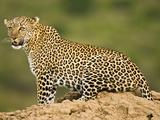 African Leopard  Masai Mara Game Reserve  Kenya