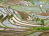 Native Yi People Plant Flooded Rice Terraces Near Laomeng Town  Jinping  Yunnan  China