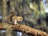Grey Squirrel Feeding on Oak Branch  Florida  Usa