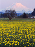 Rainier in Pink Twilight  Daffodil Field under Mt  Puyallup  Washington  Usa