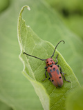 Long-Horned Milkweed Beetle  Jenson Lake Park  Eagan  Minnesota  Usa