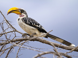 Yellow-Billed Hornbill Perched in Tree  Samburu Game Reserve  Kenya