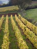 Ozenay  Maconnais Area  Burgundy Region  Saone-Et-Loire Department  France