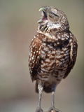 Burrowing Owl  Florida  Usa
