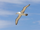 Shy Albatross in Flight  Bass Strait  Tasmania  Australia