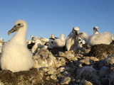 Shy Albatross Chick and Colony  Bass Strait  Tasmania  Australia