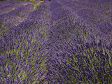 Lavender Farm  Near Cromwell  Central Otago  South Island  New Zealand