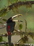 Pale-Mandibled Aracari in Fruiting Fig Tree  Mindo  Choco  Western Andes  Ecuador