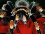 Mexican Red-Kneed Tarantula  Mexico
