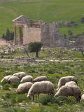Grazing Sheep by the Capitole  UNESCO Site  Dougga  Tunisia