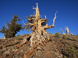 Weathered Tree in the Ancient Bristlecone Pine Forest  White Mountains  California  Usa
