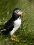 Puffin  Staffa  Off Isle of Mull  Scotland