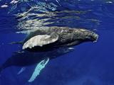 Humpback Whale Calf  Silver Bank  Domincan Republic