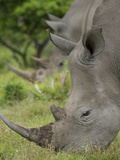 Pair of African White Rhinos  Inkwenkwezi Private Game Reserve  East London  South Africa