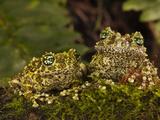 Vietnamese Mossy Frog  Central Pennsylvania  Usa