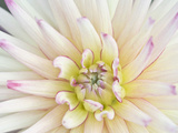 Dahlia Close-Up  Bellevue Botanical Garden  Bellevue  Washington  Usa