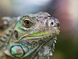 Profile of a Green Iguana  Costa Rica