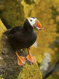 Tufted Puffin with a Mouthful of Fish  St Paul  Pribilof Islands  Alaska  Usa