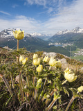 Alpine Flowers and Views of Celerina and St Moritz from Atop Muottas Muragl  Switzerland