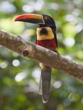 A Wild Fiery-Billed Aracari  Costa Rica