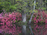 Azaleas in Bloom at Magnolia Plantation and Gardens  Charleston  South Carolina  Usa