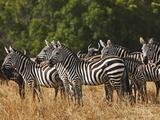 Burchell's Zebras  Masai Mara  Kenya