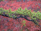 Pine and Blueberry Bushes in Acadia National Park  Maine  Usa