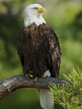 Bald Eagle Perching in a Pine Tree  Flathead Lake  Montana  Usa