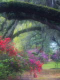 Spring Azaleas in Bloom at Magnolia Plantation and Gardens  Charleston  South Carolina  Usa