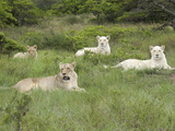 African Lions  Inkwenkwezi Private Game Reserve  East London  South Africa