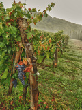 Chianti Grapes Ready for Harvest  Greve  Tuscany  Italy