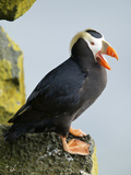 Tufted Puffin  St Paul  Pribilof Islands  Alaska  Usa